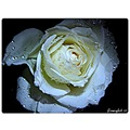 flower rose white drops