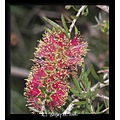 A Bottlebrush flower.