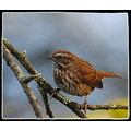 nature bird song sparrow carlsbirdclub
