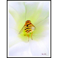 hoverfly saffi9