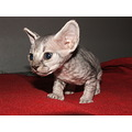 devon rex cat kitten