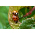 Convergent Lady Beetles