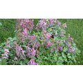 "Corydalis, ""Bird in A Bush"" with bumblebee.