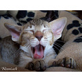 Oriental Shorthair chocolatespottedtabby Cat