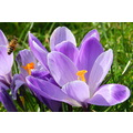 nature crocus spring bee