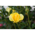 flower rose yellow bud green garden