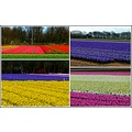 flowers lisse holland