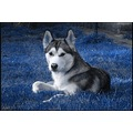 husky dog balis barbara