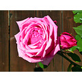 rose pink pinkfph garden gardenfph summer light shadows fence
