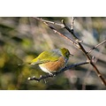 nature birds waxeye nz