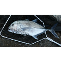 giant trevally GT fish airlie beach queensland australia