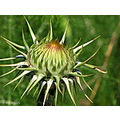 Thistle wild Alora Andalucia home Spain Canon SX10IS