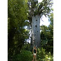 tree kauri forest bush old tall