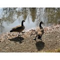 Time for a dip? Canada Geese in St. Vital Park, Winnipeg, Canada