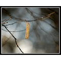 catkin bokeh dof nature light swellwood westsedgmoor somerset somersetdreams