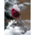 red rose snow winter