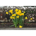 Daffodils, Spring is in the air!!