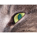 cat animal macro eye kitten lillianna