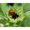 Nature Lady bug on Sunflower bud