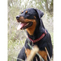 rottweiler dog mammal animal pet family