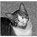 cat look portrait pet bw