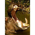 hippo animal mammal nature wildlife mouth tusks