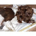 Helen's spaniel, Tangle, had 8 puppies on Thursday. Two of them were still-born, unfortunately, b...