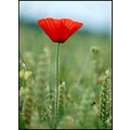 flower poppy nature red birthday somerset somersetdreams