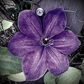 clematis purple flower floral