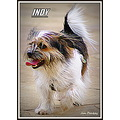 Indy dog pet terrier animal intelligent canine