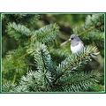 nature bird junco fir tree