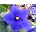 violet flower houseplant