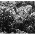 flowers bw nature plant light shadow