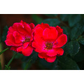 KNOCKOUT RED ROSES