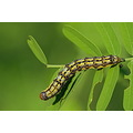 green backyard worm catapillar