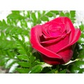 rose flower love