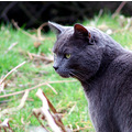 cat grey greycat pets animals