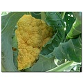cauliflower garden vegetable
