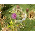 thistle weesue purple plant