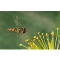 Hoverfly in flight insect macro bug
