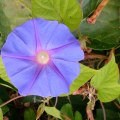 flower blue morningglory upsidedown upside down bluefph