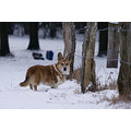 Welsh Corgi Cardigan snow winter