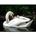 reflectionthursday swan cygnet