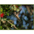 birds nature hummingbirds