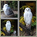 snowy owls zoo hanover 2013 collage