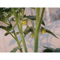 tomato flower yellow fuz