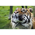 Tiger Satsuma wild tame free caged stripes claws teeth