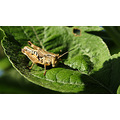 grasshopper leaf garden perth littleollie