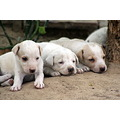 pups lucknow india