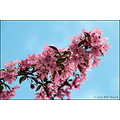 stlouis missouri us usa spring season color tree blossom sky 041510
